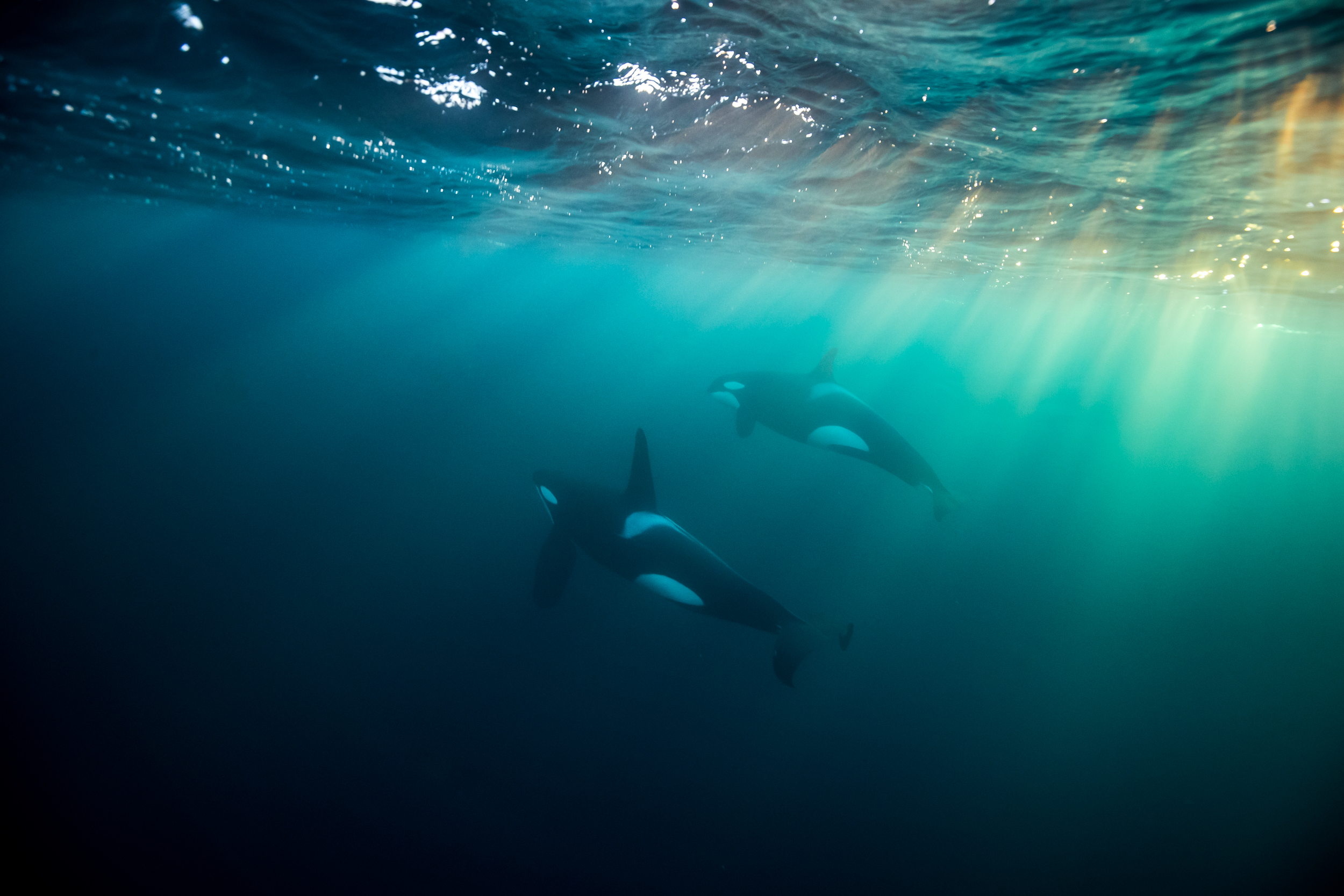 snorkel norway underwater orca expedition sunbeam