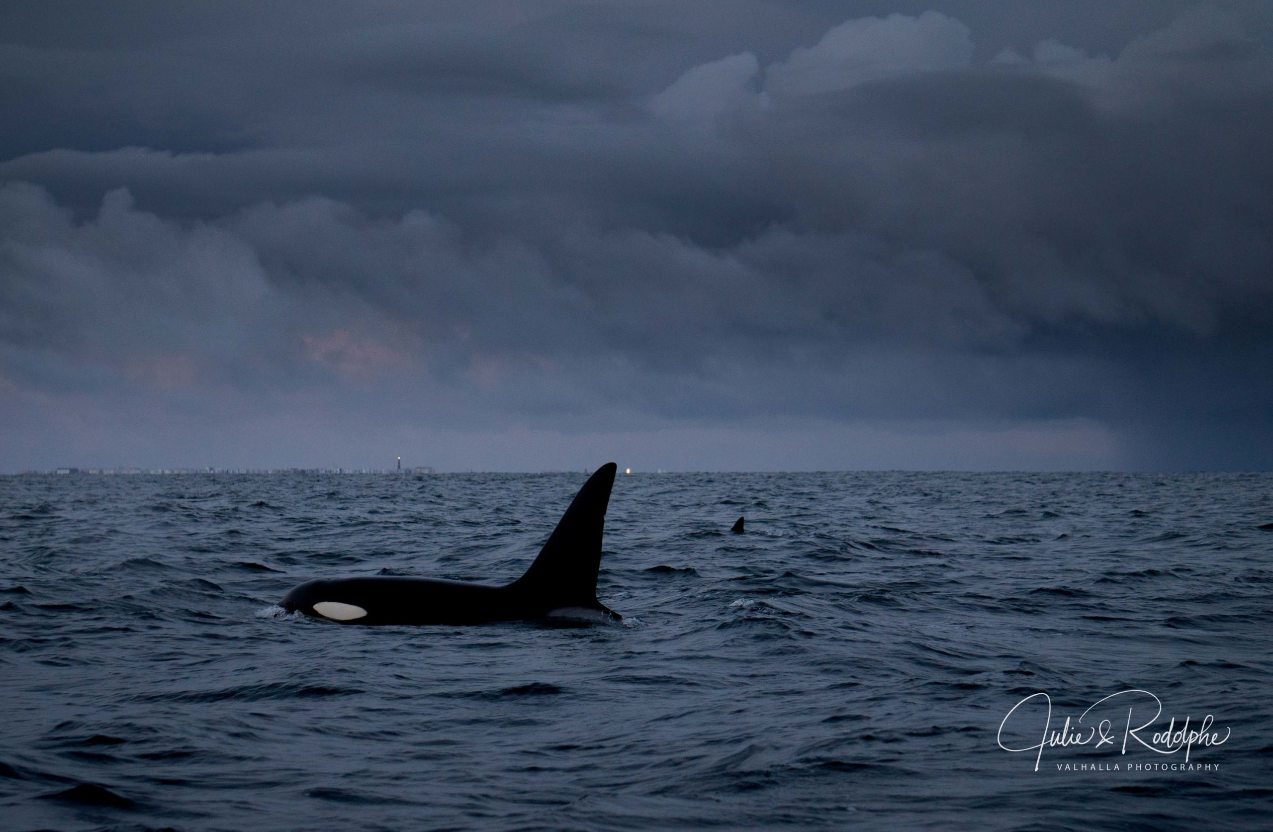 orca with black fin a storm in Norway