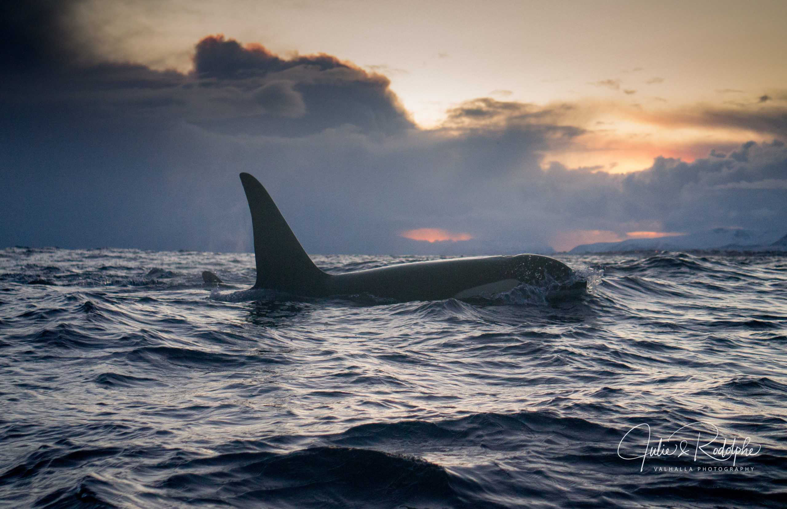 orca swimming under sunset artic light in norway