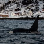 orcas killerwhales infront harbour norway arctic small house