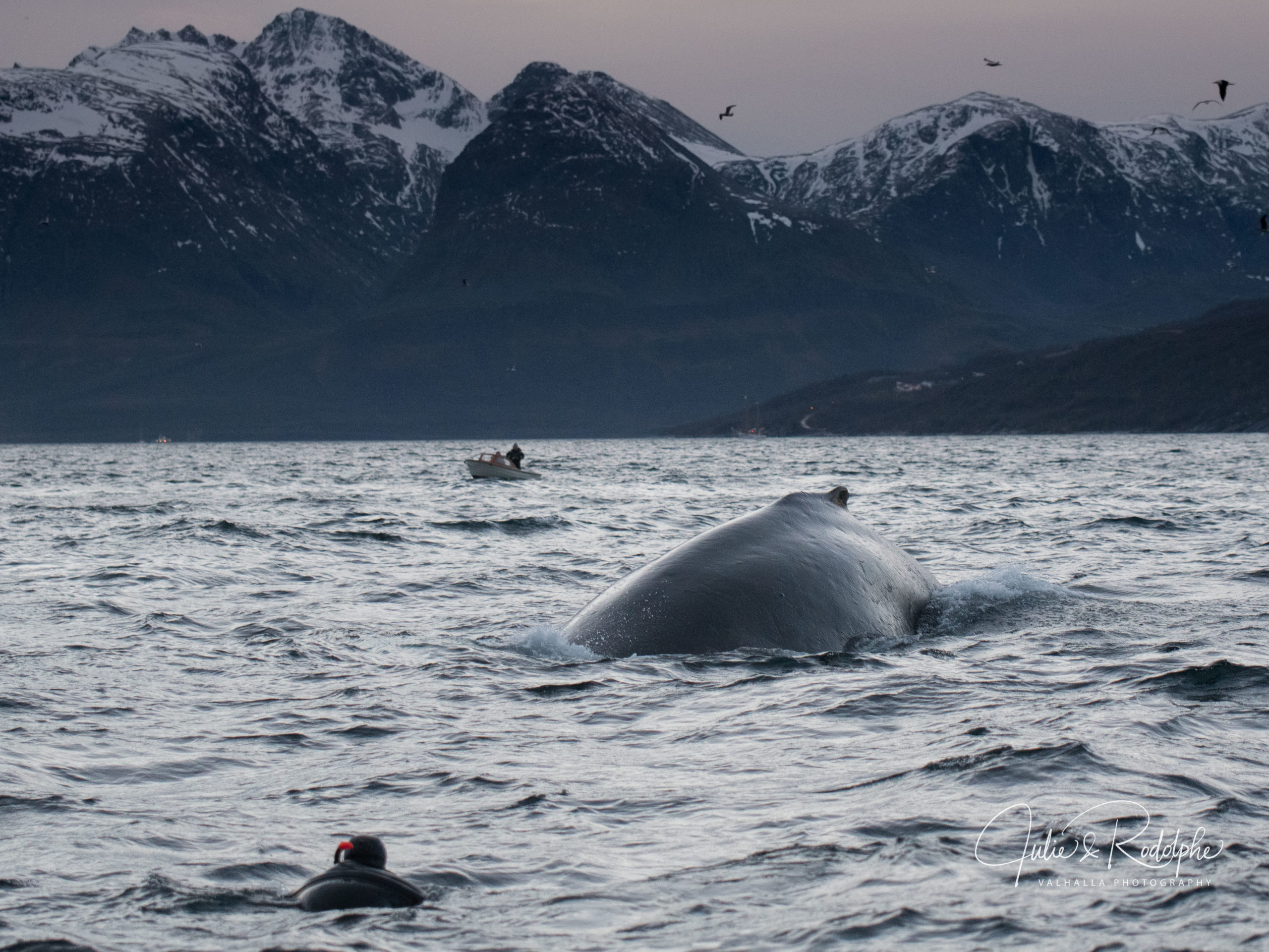 humpback whale swimming in the fjords towards a sparkler red tuba
