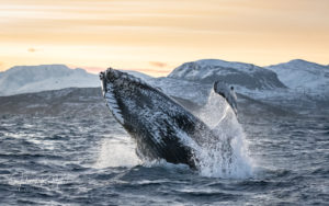 humpback whale norway jumping gold light arctic