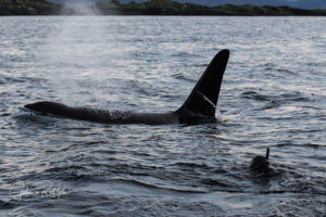 bucket list diving killer whale apex predator