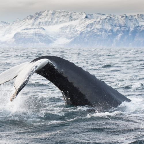 humpback whale tail fluke diving in the sea in winter