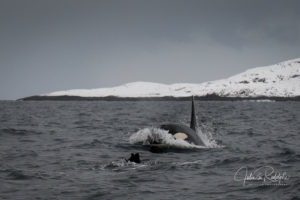 swimming with orca diver Norway expedition valhalla