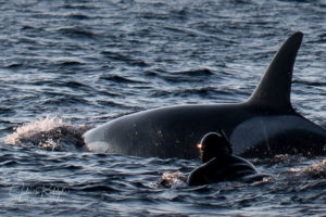close up orca with diver in arctic in norway