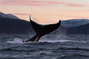 sunset tail fluke humpback whale Norwegian arctic