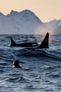 killerwhales in waves with a snorkeler with scenery
