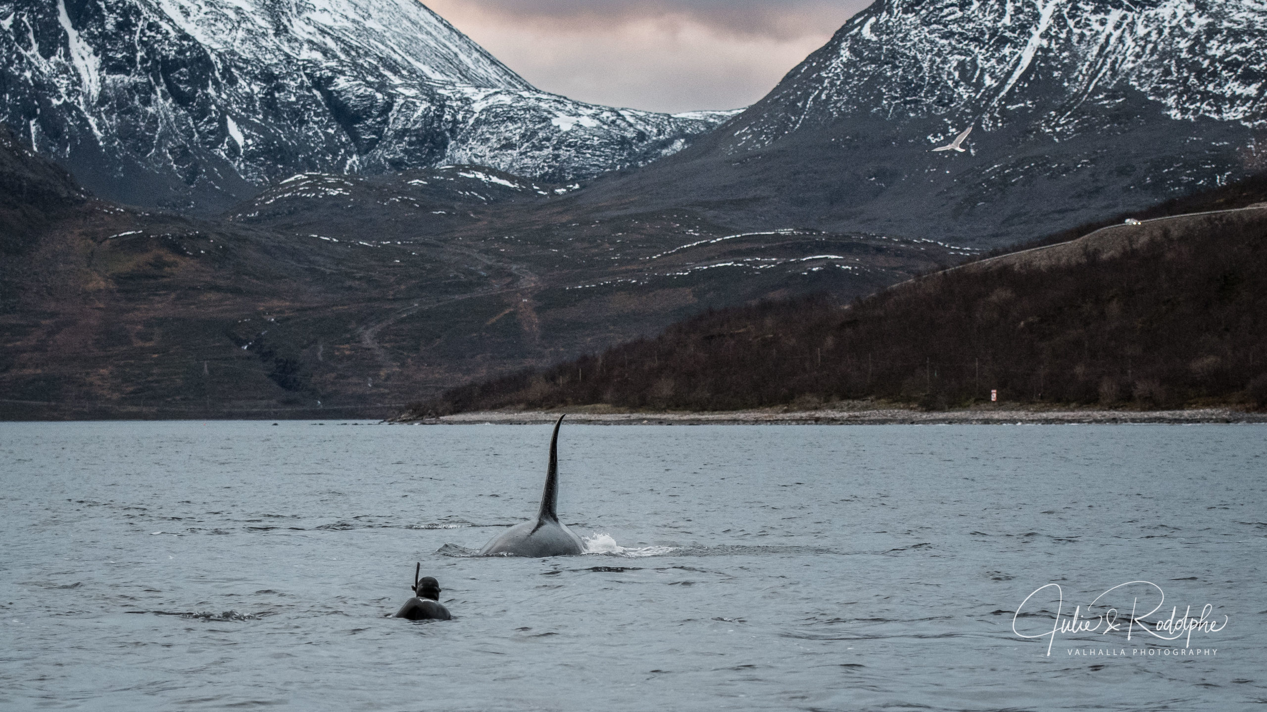 norwegian fjord mountain arctic orca fin swimming towards diver