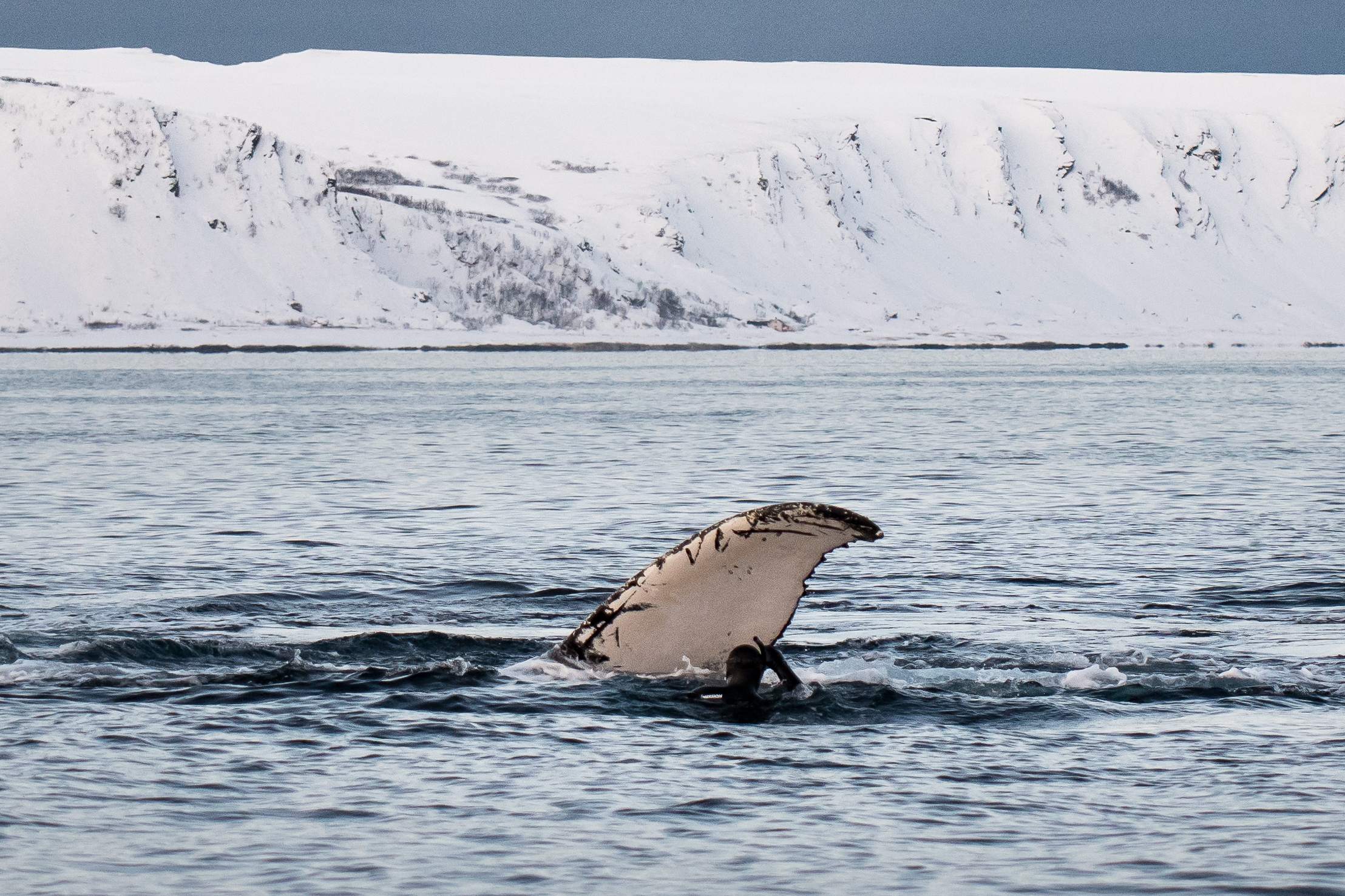 close up whale fluke to diver winter mountain winter