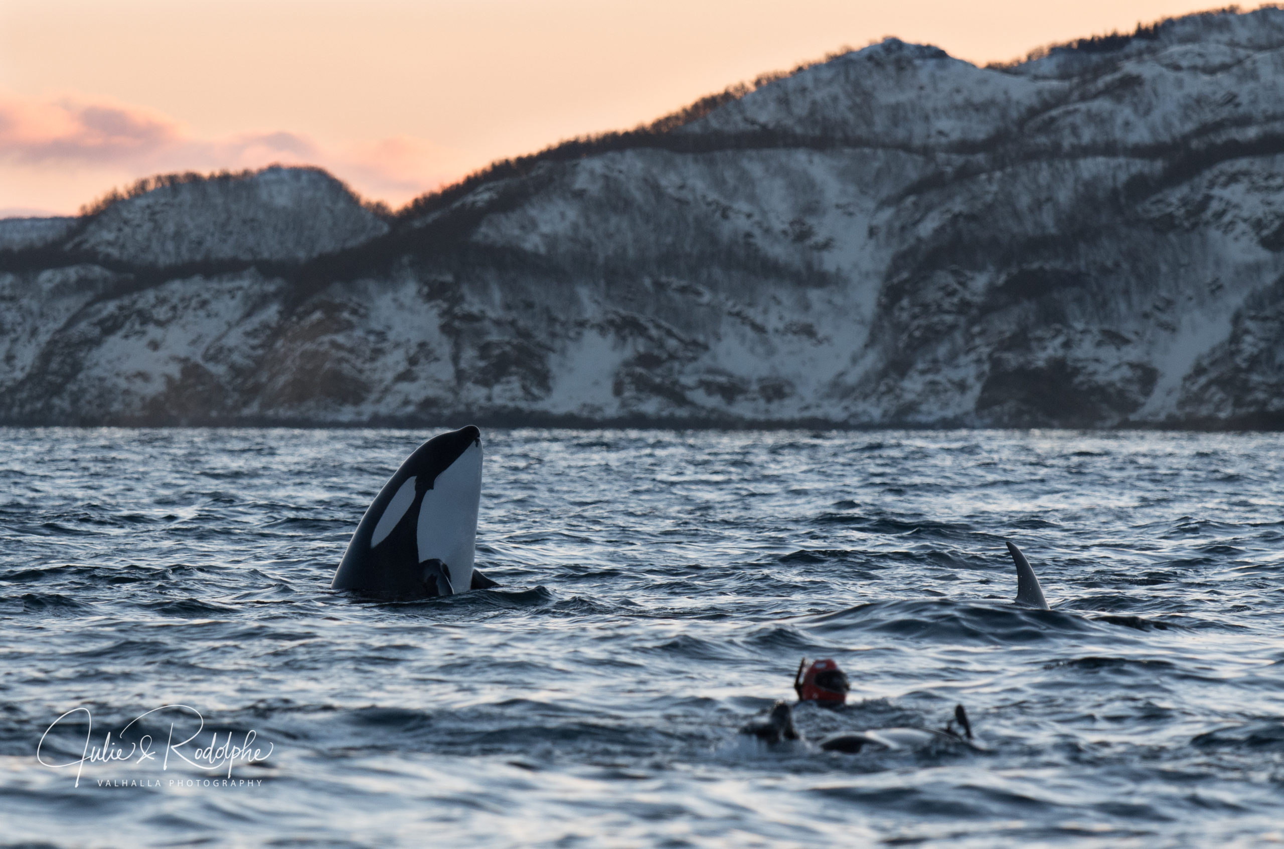 spy hopping orca with diver in norway