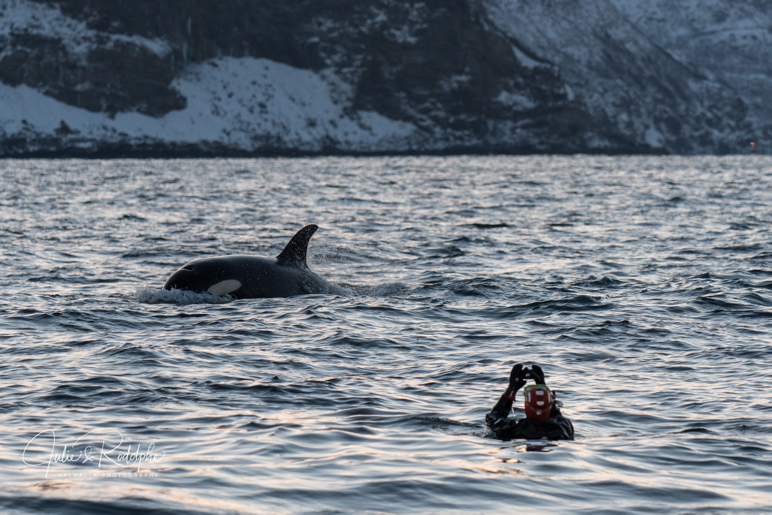 diver in the water making photo of orca