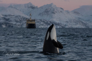 orca spyhoppinng jump Norway pink sky valhalla orca expedition front of a ship
