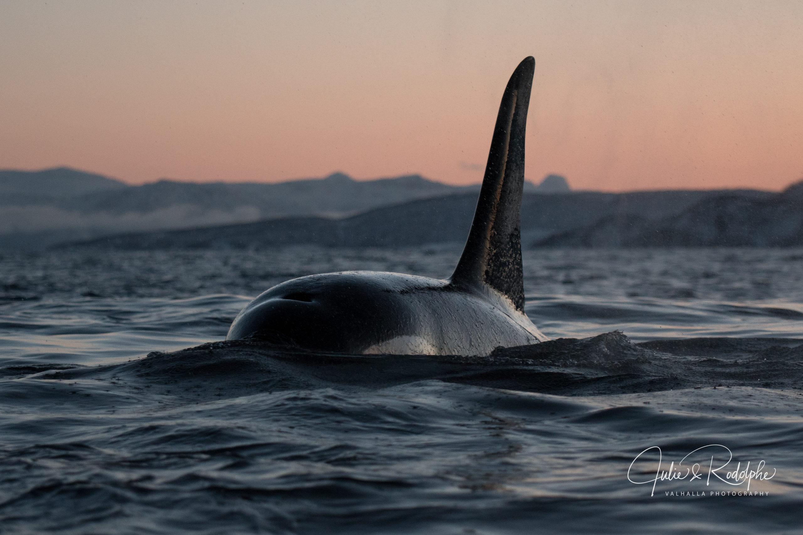 close up killerwhale big fin sunset