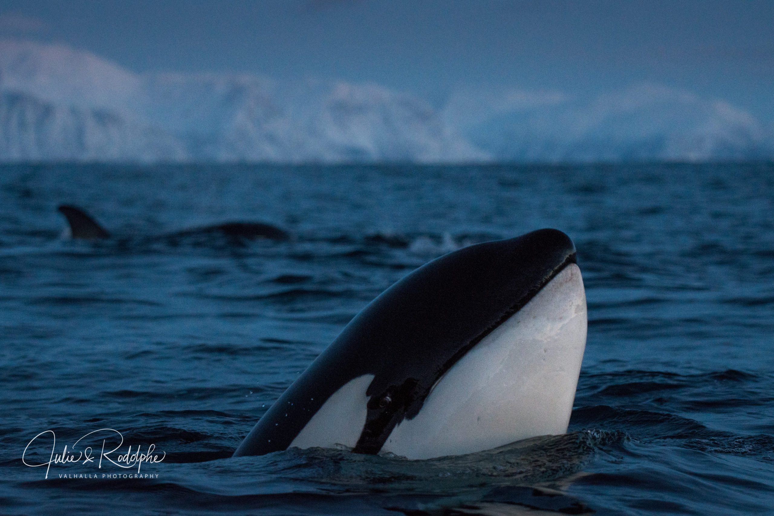 curious orca looking at the boat zodiac
