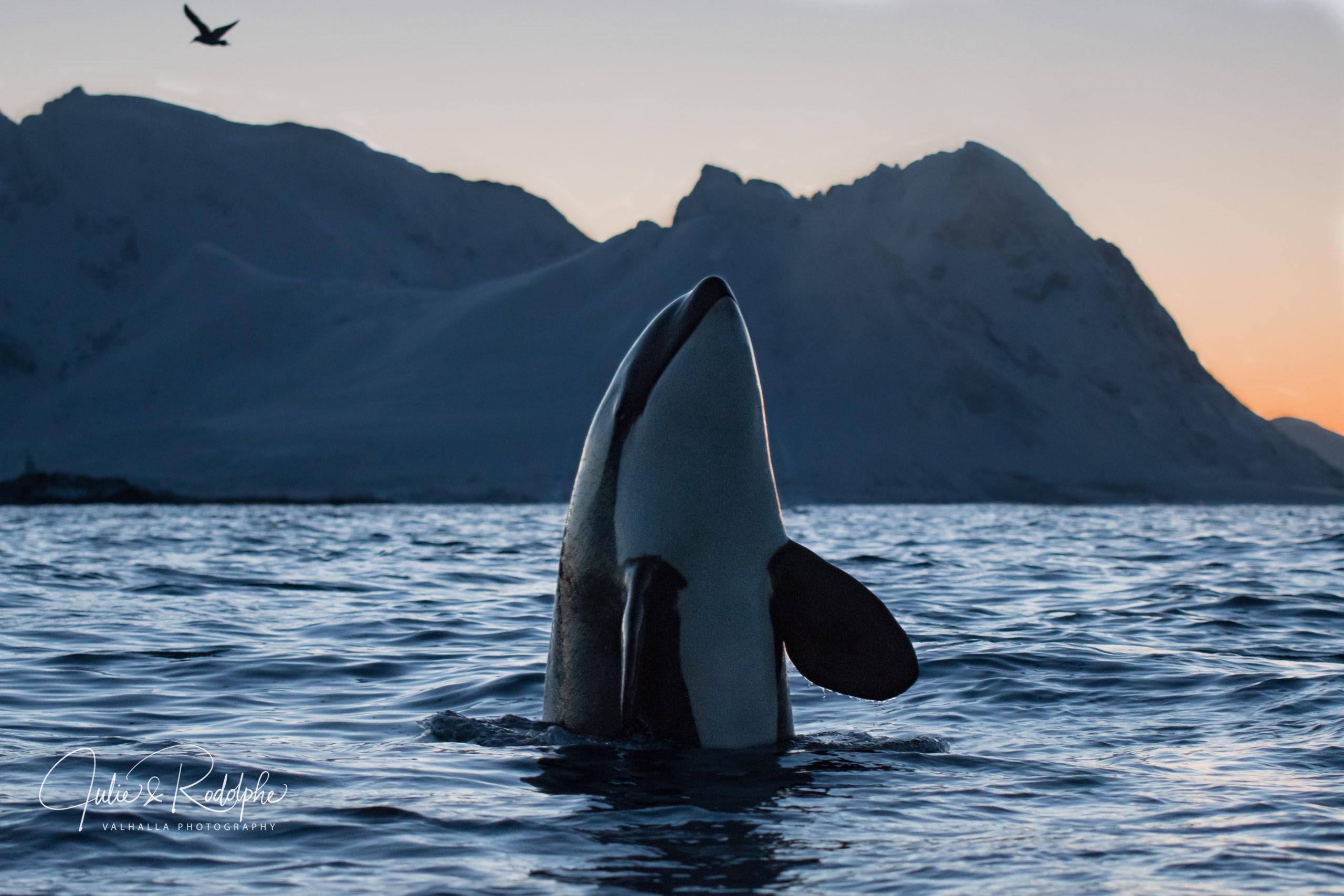 spy hopping wildlife animal whale