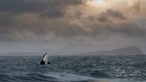 spyhop orca in fjord norway arctic valhalla sky