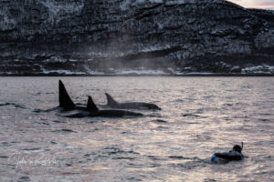 orca pod swimming with diver in the arctic Valhalla expedition