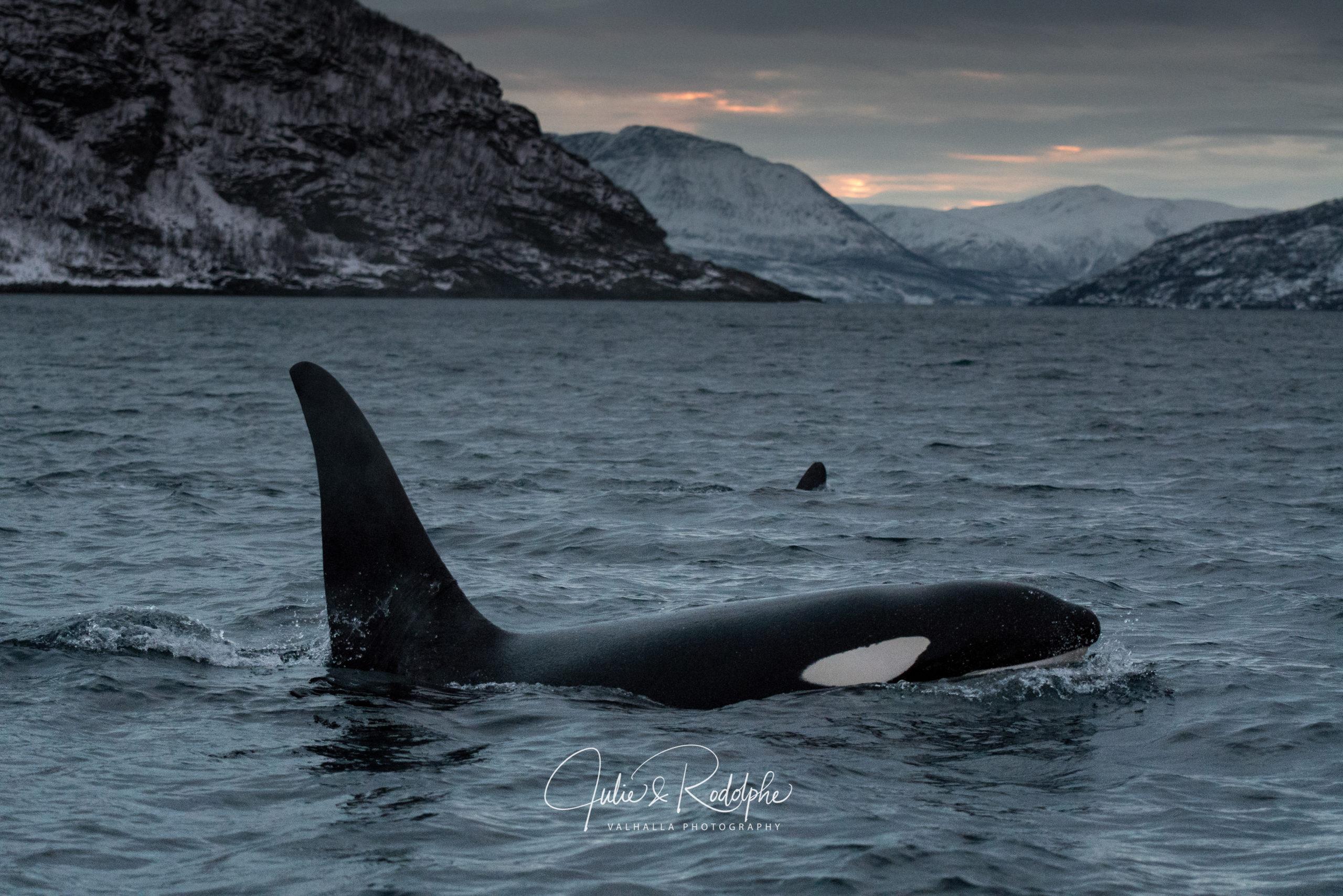 migration orca herring norway