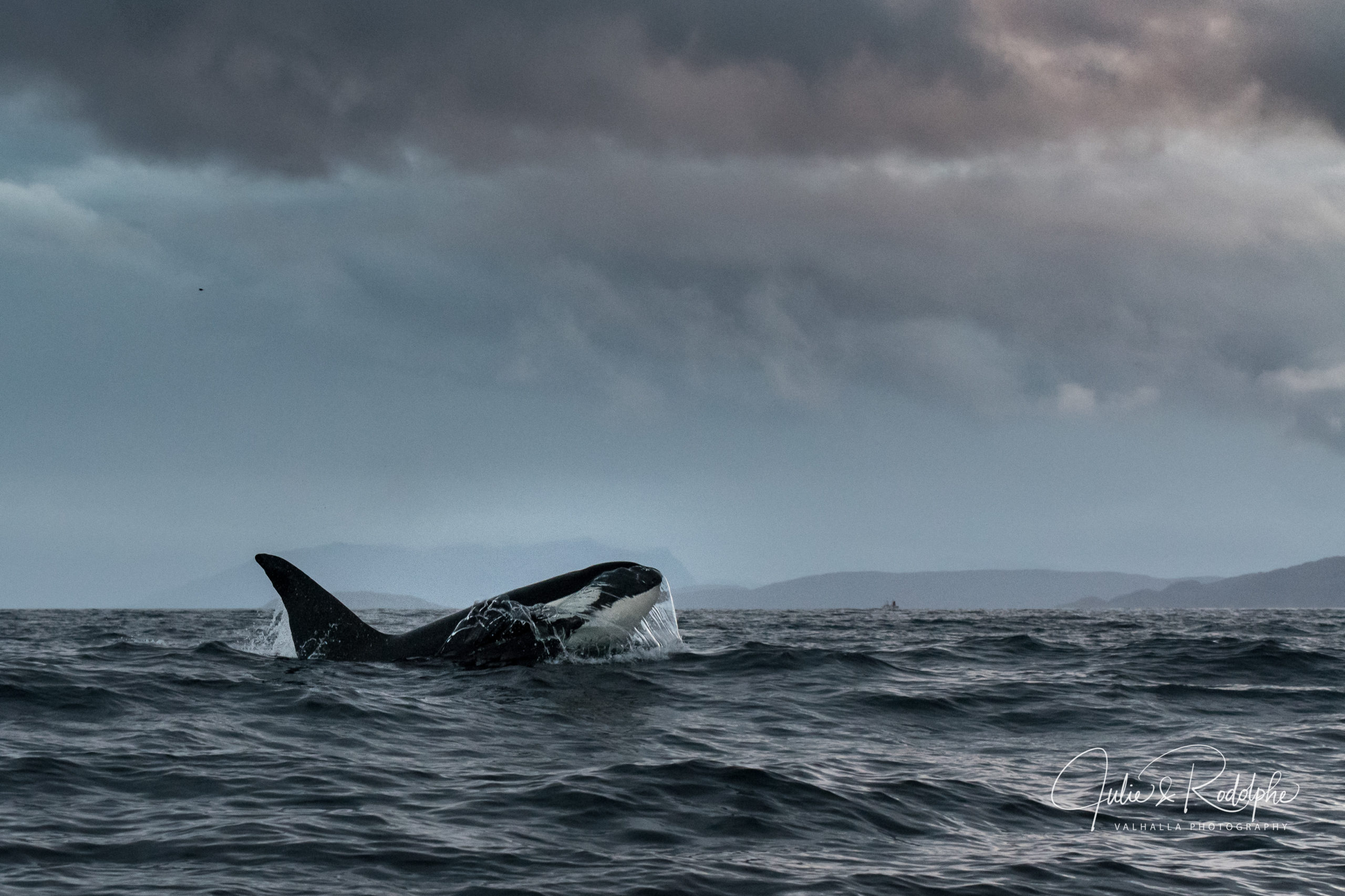 killerwhale black fish in a storm in arctic