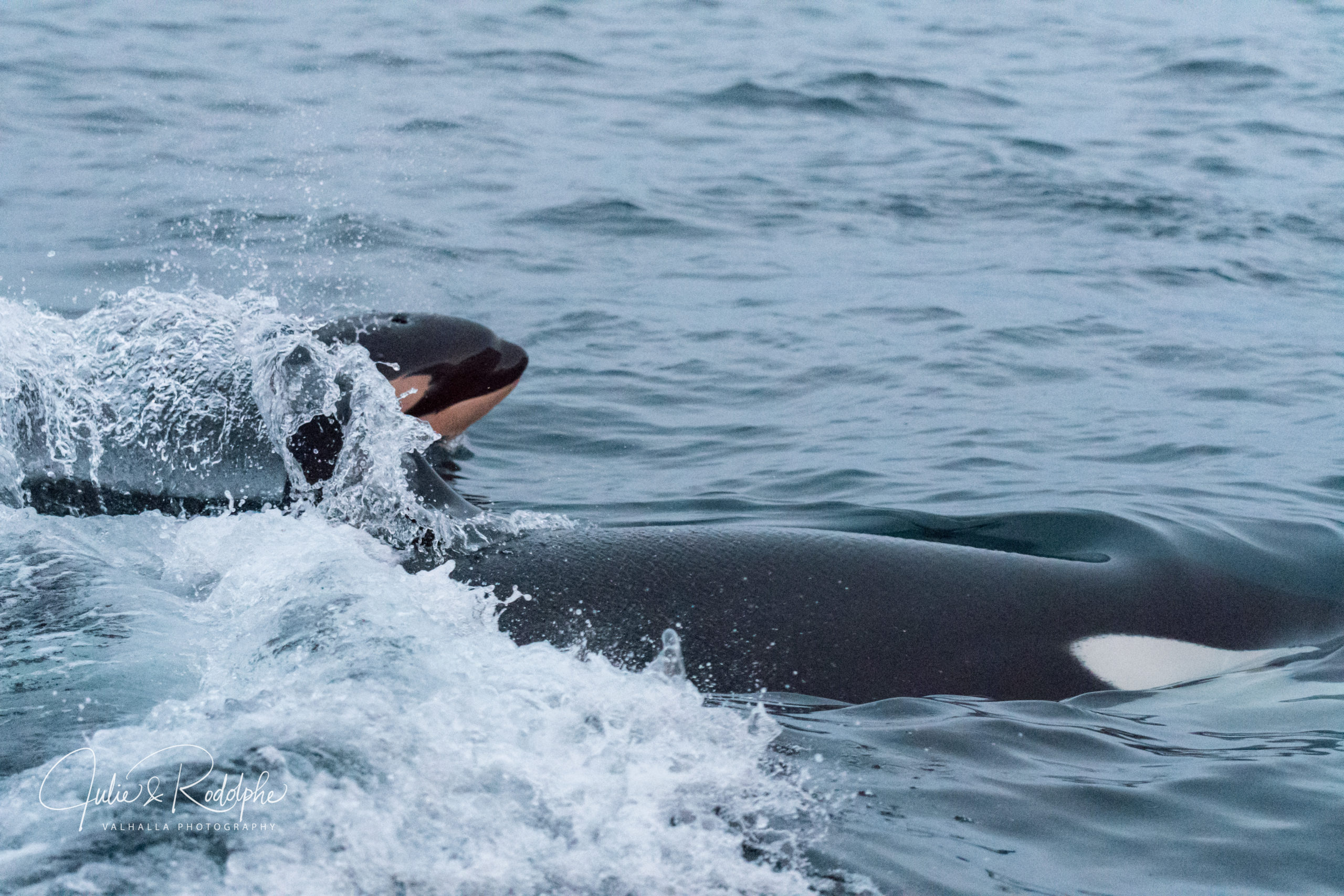baby calf killerwhale with mother black fish