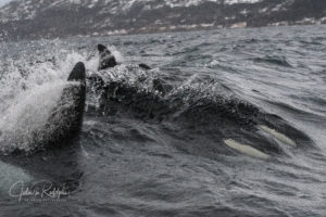 orca surfing in a wave full speed life time