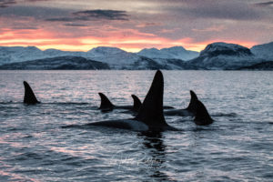big killerwhale with family with mountains
