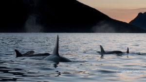 calm sea orca killerwhales sunset north