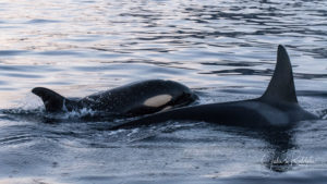 orca calf with mother in norway
