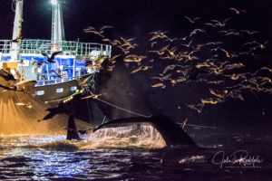 orca killerwhale humpback whale with a fishing herring boat with seagulls by night