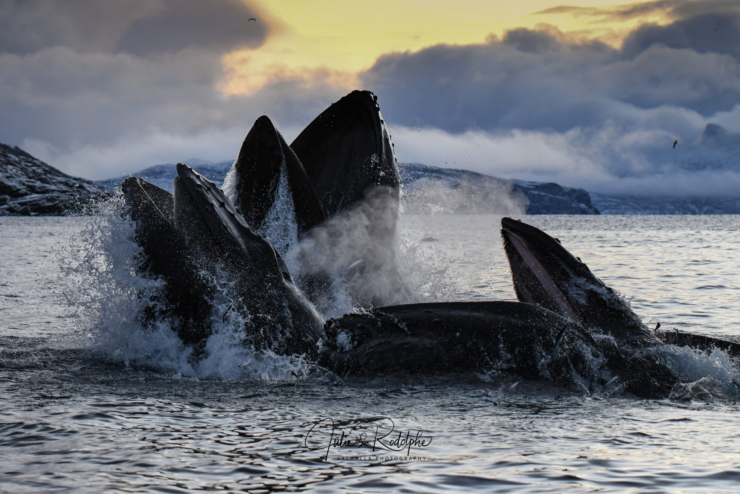 humpback whale lung feeding herring jump sunset valhalla orca expedition