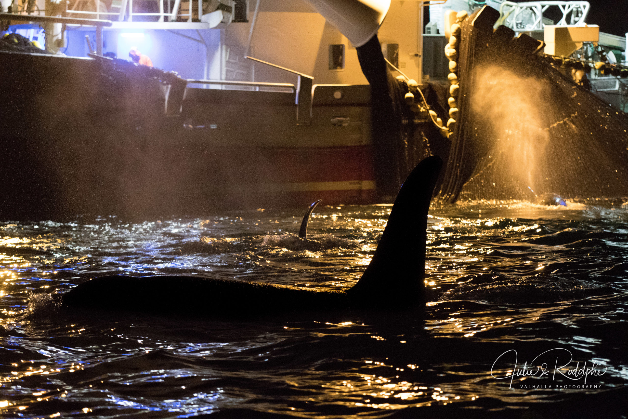 orca in front of a fishing herring boat with net in norway
