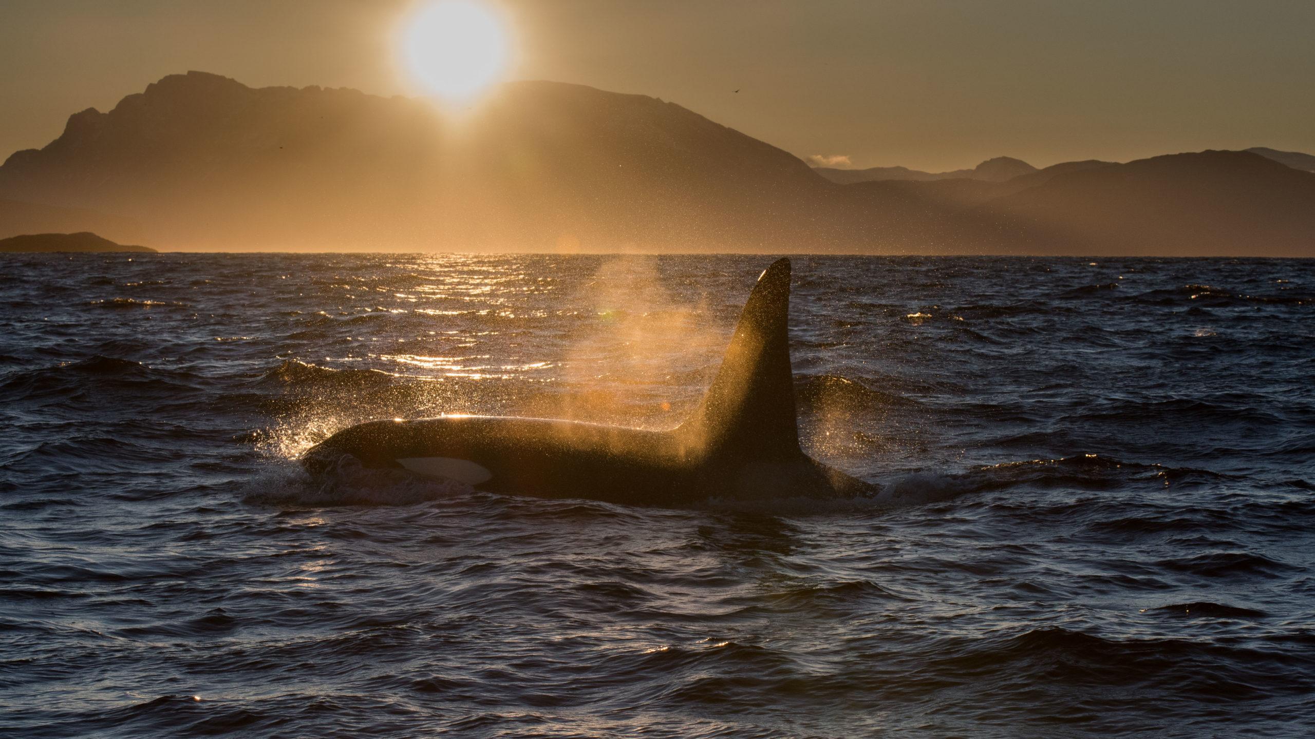 shadow killer whale arctic sun