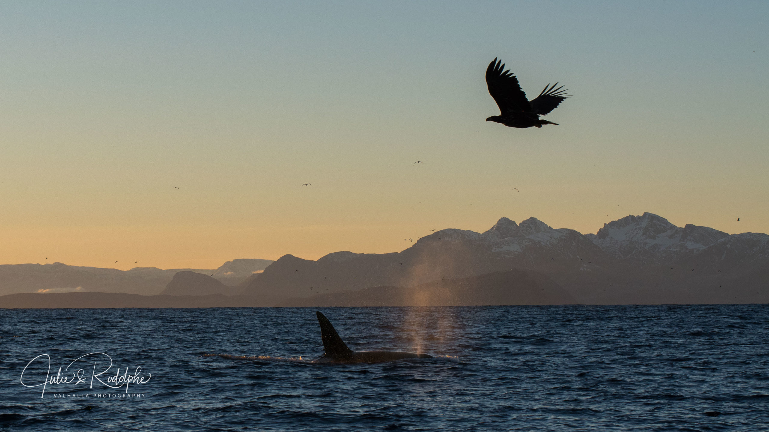 killerwhale with white tailed eagle flying above in fjord wildlife