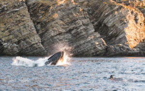 leaping whale mouth open herring with snorkeler in the water