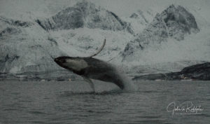humpback whale leap jump in fjord valhalla orca expedition