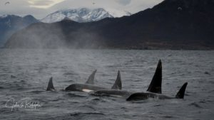 orca family pod swimming in a line in a fjord